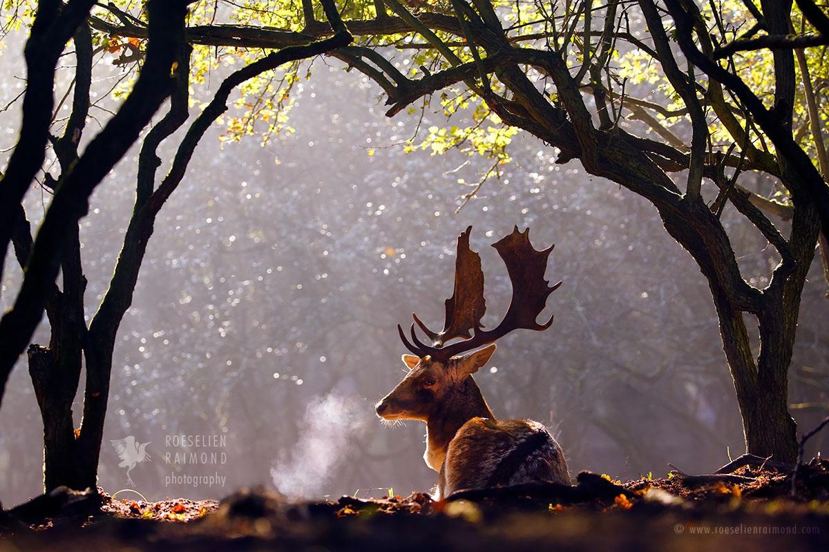 _X1B6474_fallow_deer_breath