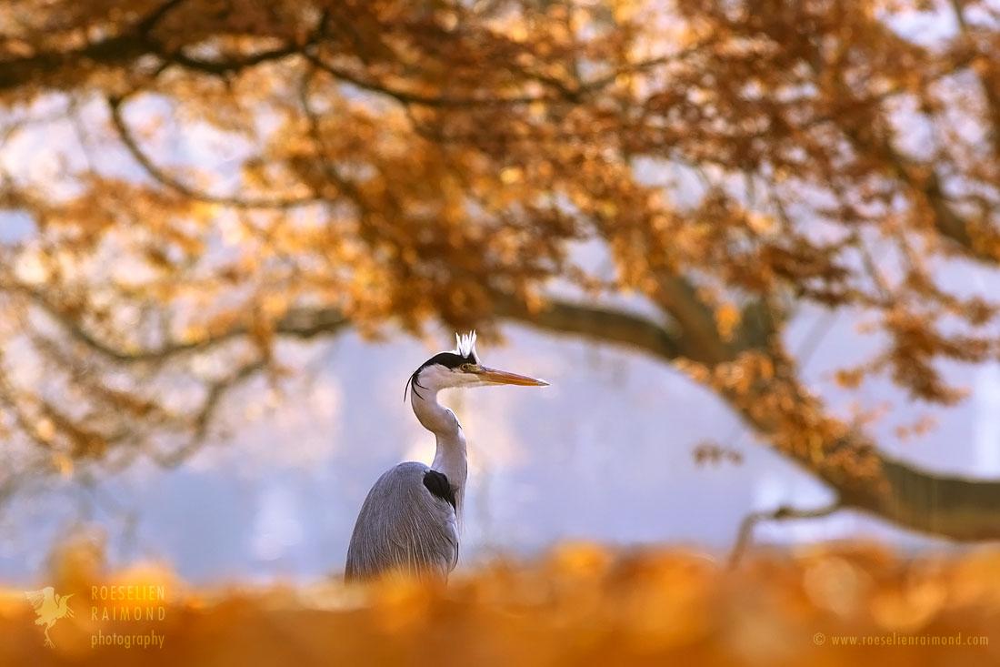 _X1B3155_autumn_heron