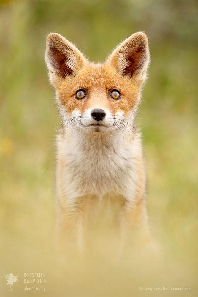 _X1B6836_fox_eyes