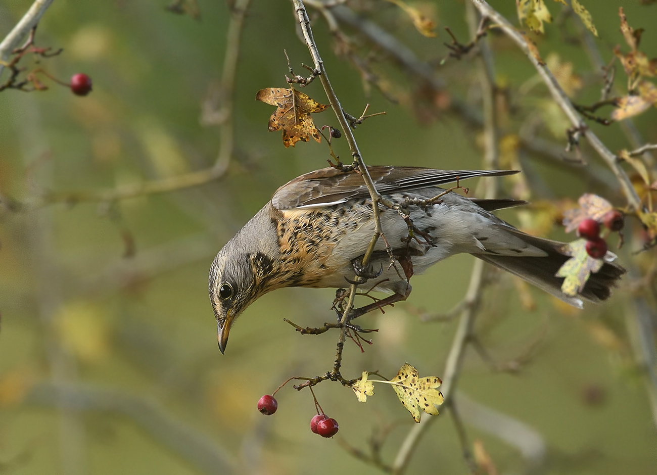 kramsvogel 05-11-16D(DDN)