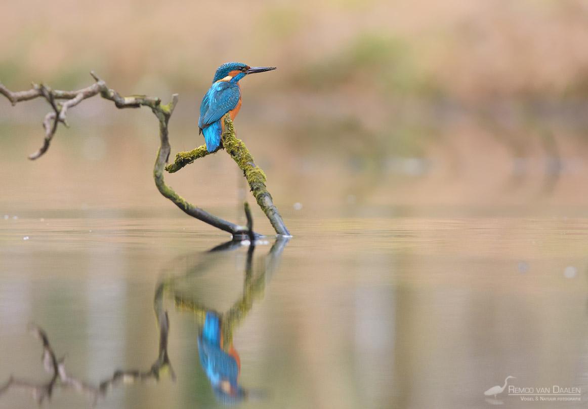 IJsvogel RVDaalenfotografie