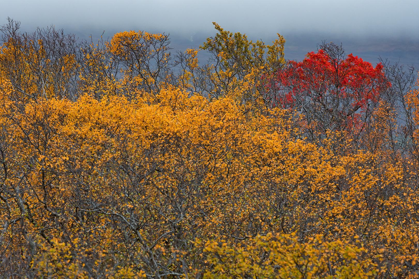 Lijsterbes tussen Berken - Sorbus in between Birch - Mehlbeeren zwissen Birken - Sorbus ddn