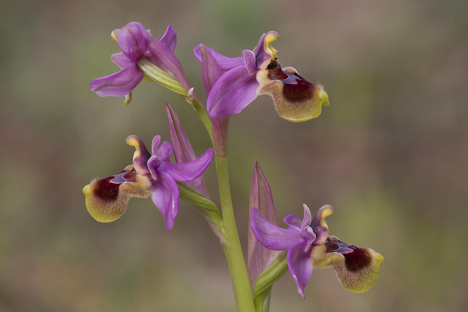 5752-59 Ophrys tenthredinifera 29-03-2015 B_V_1620