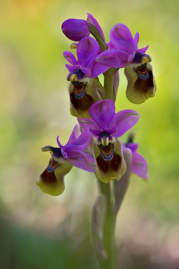 8148-54- Ophrys Tentredinifera  2015-03-29 Bw-v 1080