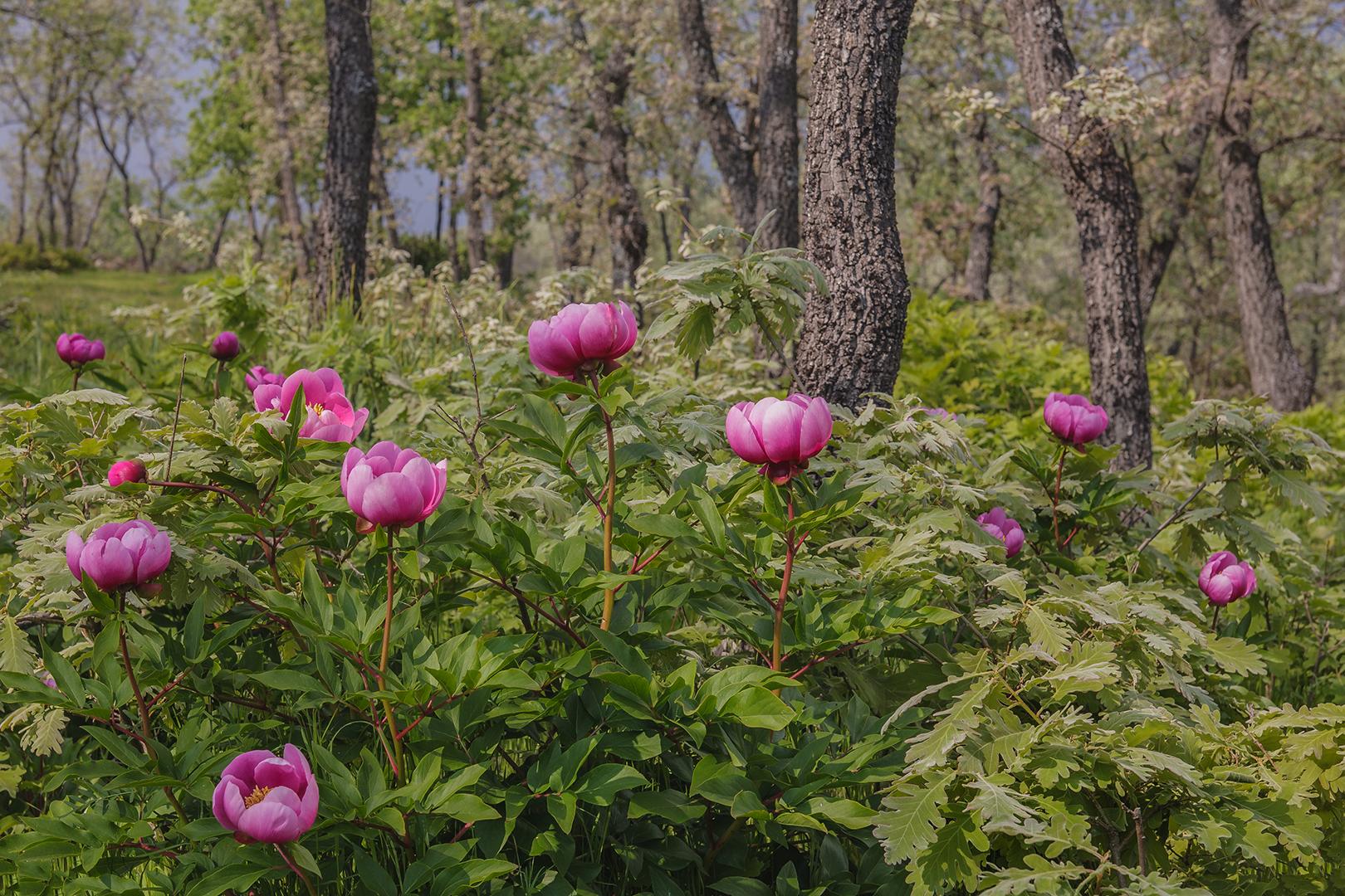017 Paeonia officinalis 17-04-2007 B_V_1620