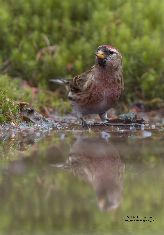 Grote-Barmsijs_DSC0427