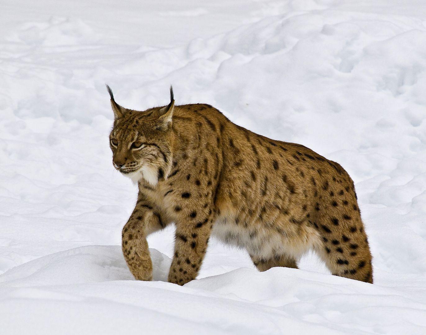 P2223940 Lynx sneeuw 2_1372x1080