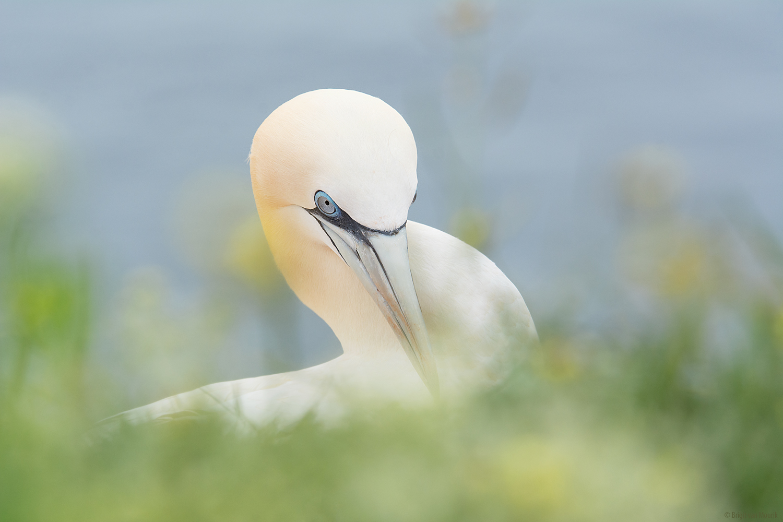 Romantic Gannet
