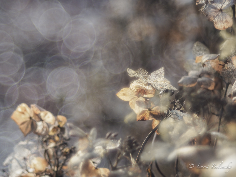 Lace of hortenisa, sun and bokeh (1 of 1)