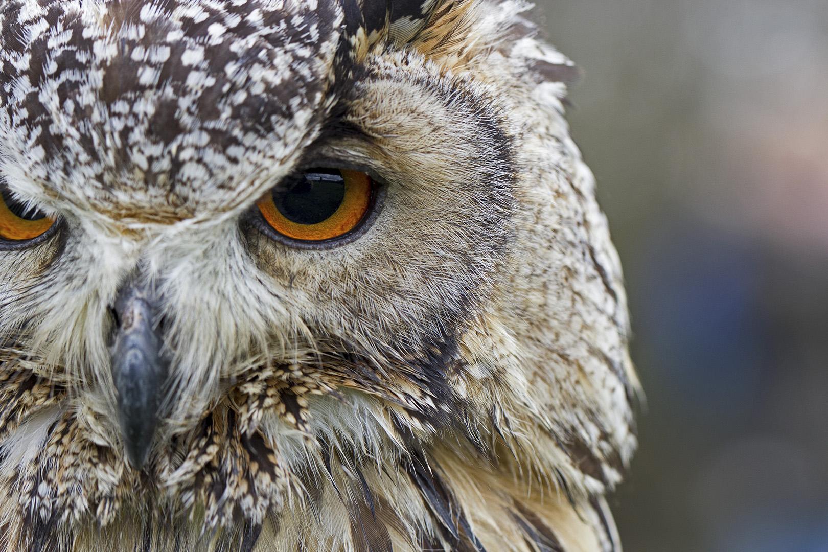Laplandse uil...