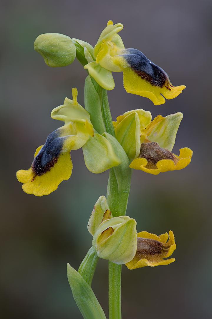 0979-10 Ophrys lutea 11-04-2017 B_V_1080