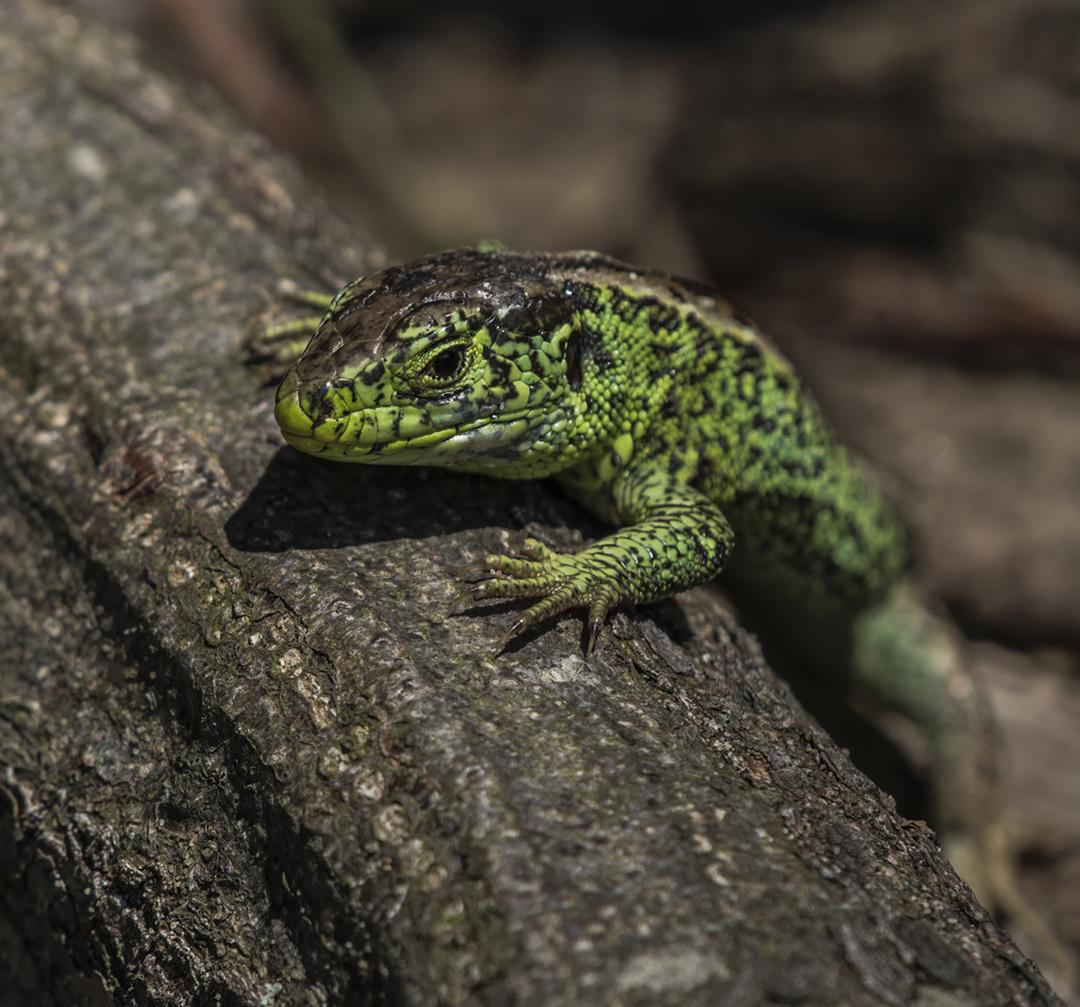 salamander 1.jpg deel de natuur.