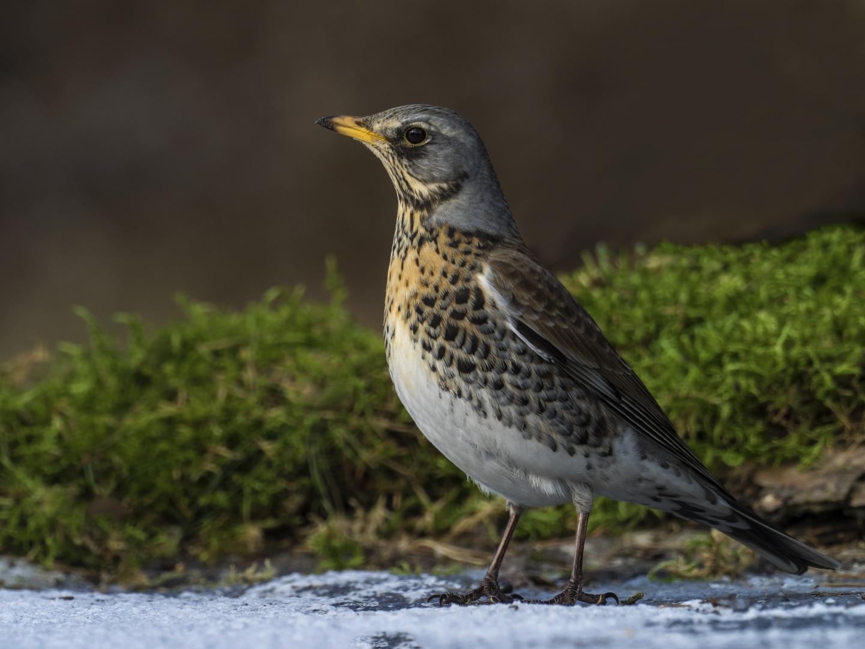 P1011518 Kramsvogel op het ijs hut HB3_1440x1080