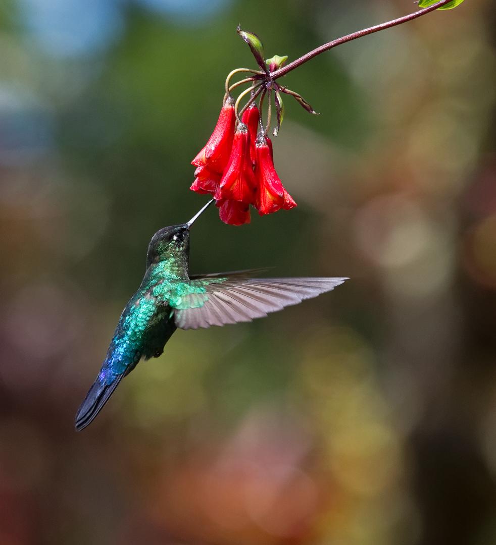 fiery throated hummingbird CP4B1769 DDN _DxO