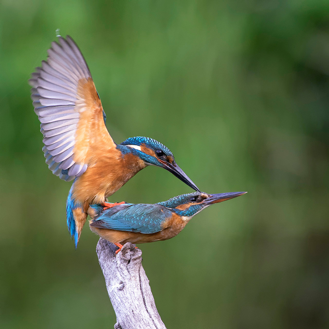 Paring IJsvogels