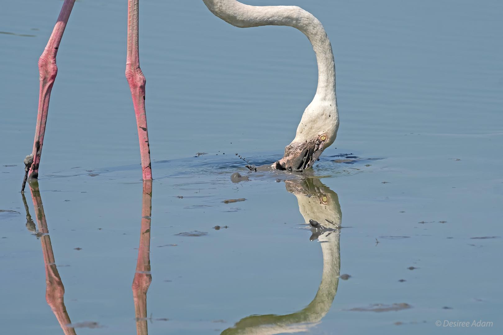 Flamingo grafisch 1511