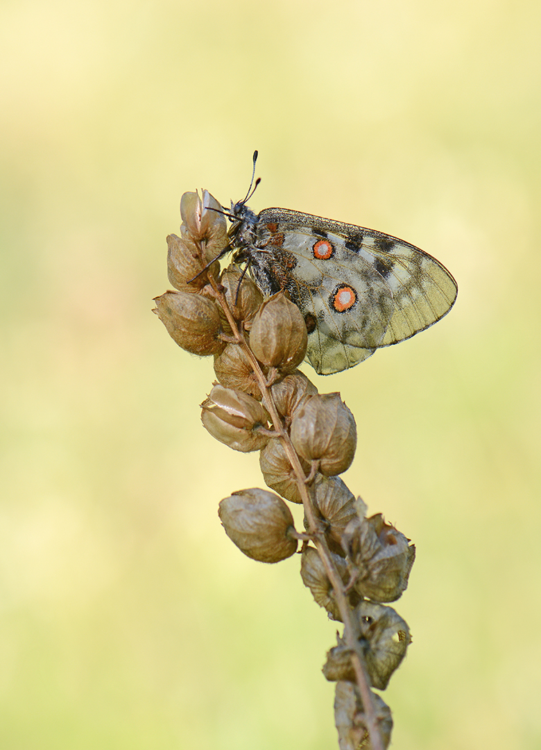 Apollovlinder-Parnassius apollo-Lillaz-Valle d'Aosta-IT-ddn