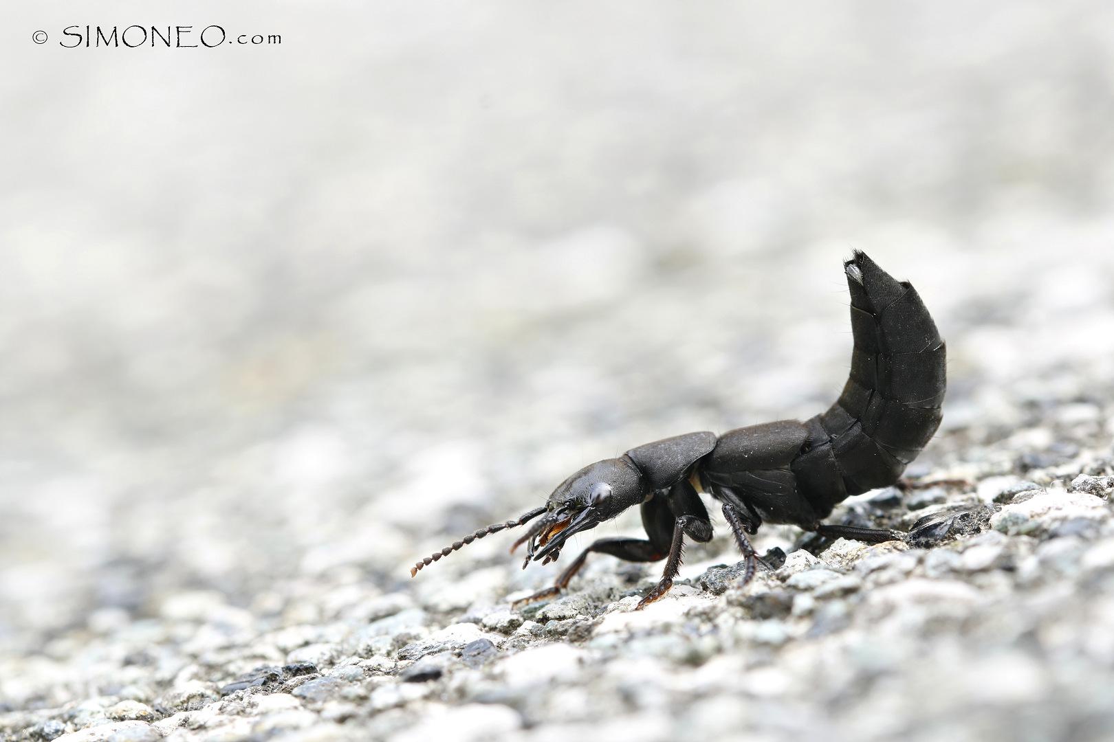 stinkende kortschildkever (Ocypus olens)ddn