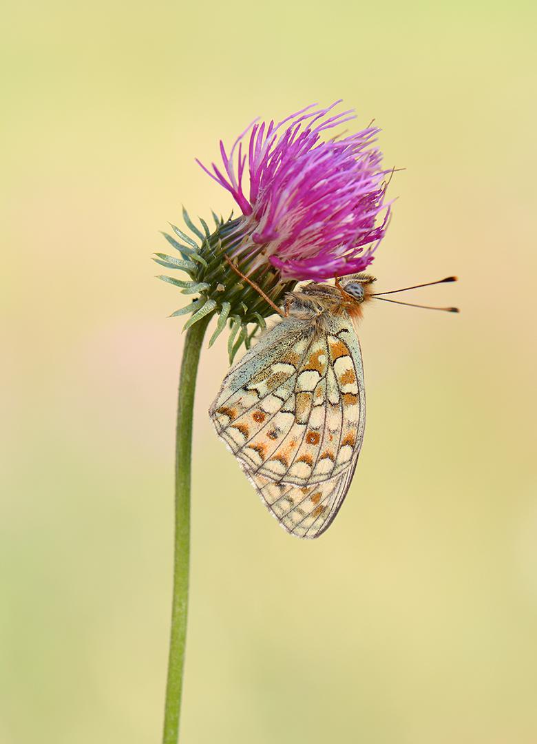 Duinparelmoervlinder-Argynnis niobe-Pont-Valle d'Aosta-IT-ddn