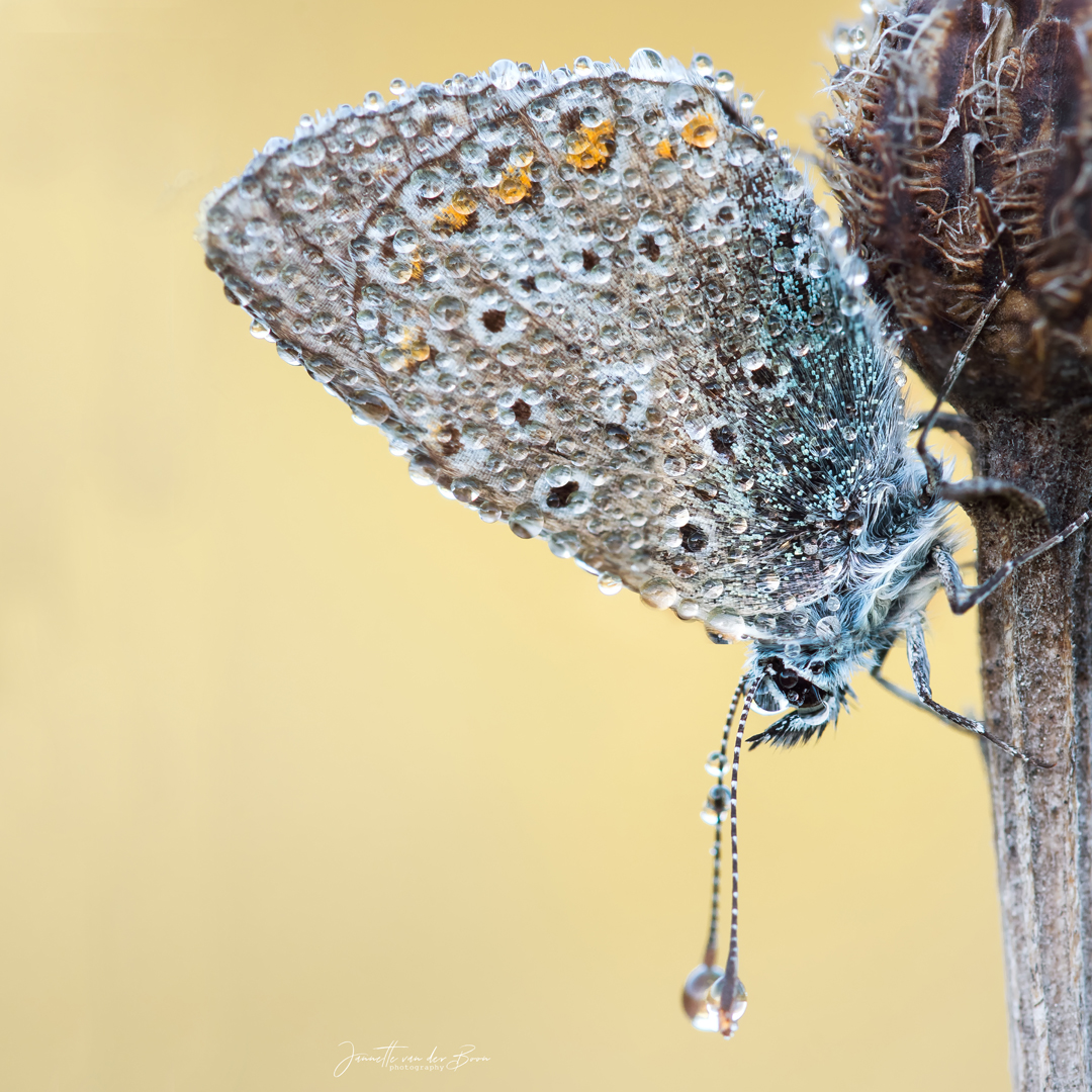 Weeping Butterfly