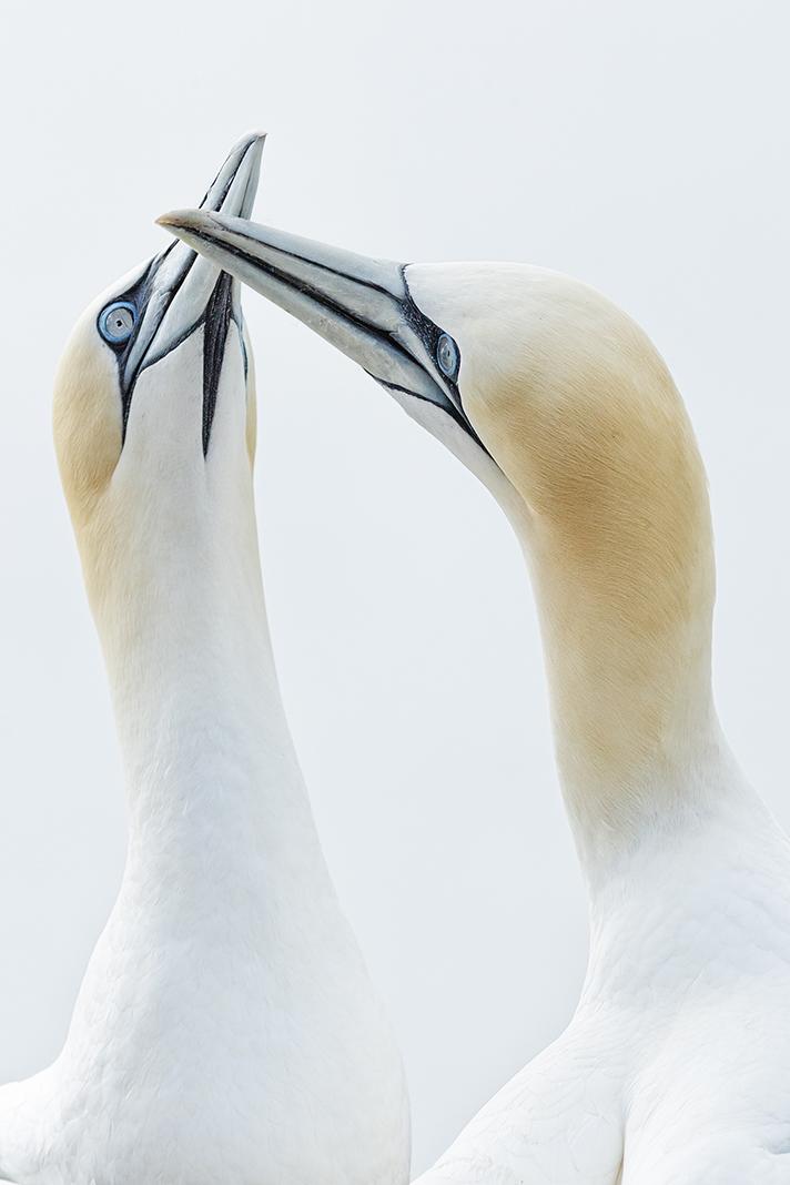 gannets 101