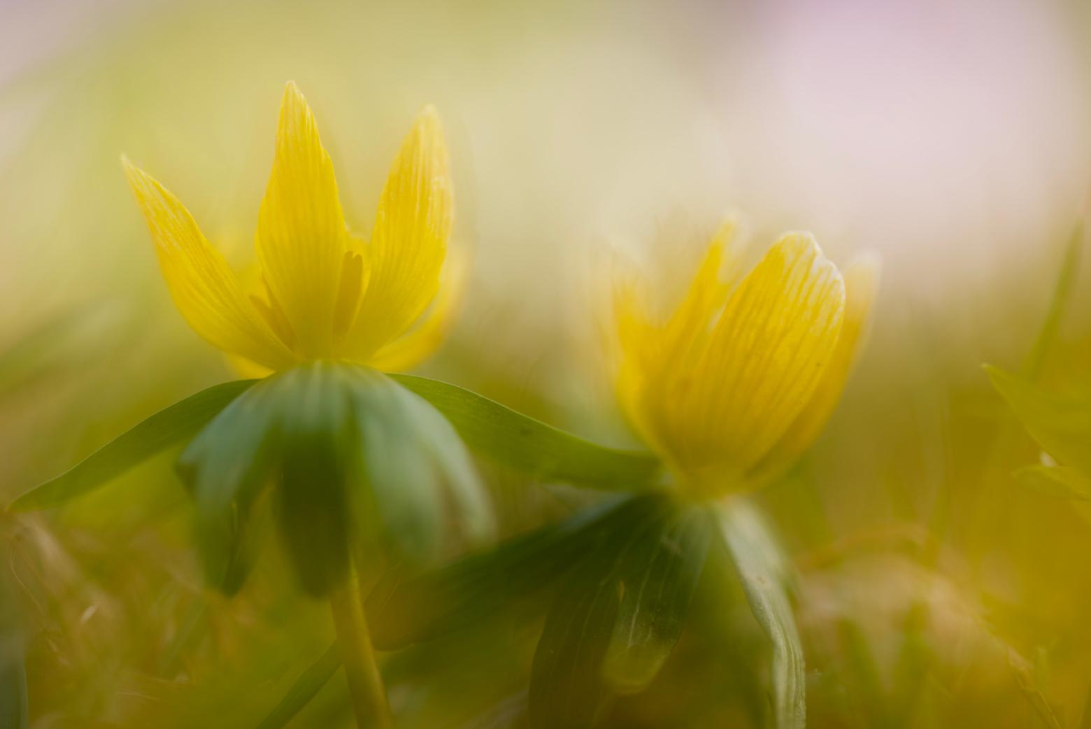 Geel voorjaar