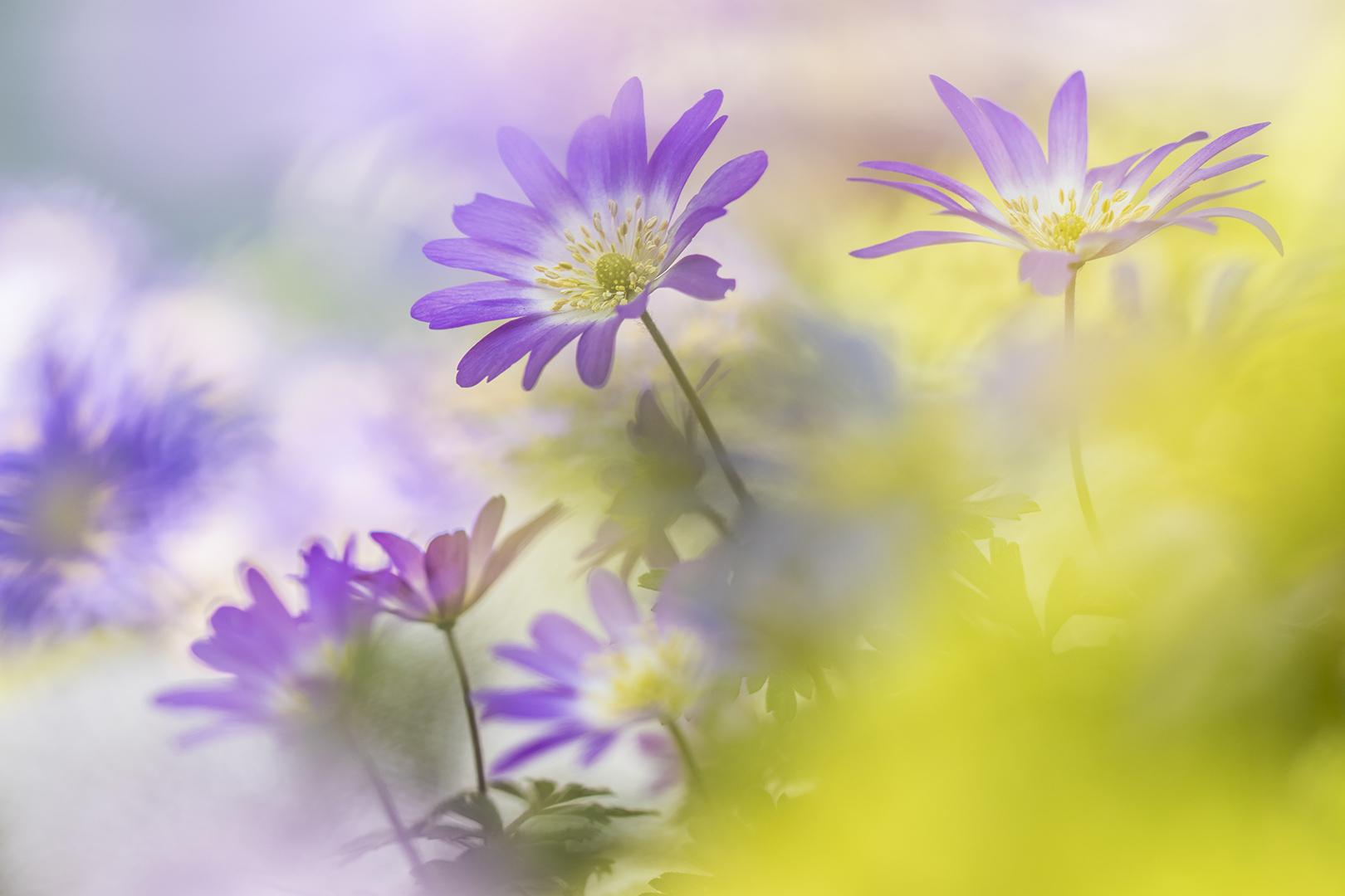 ddn anemonen