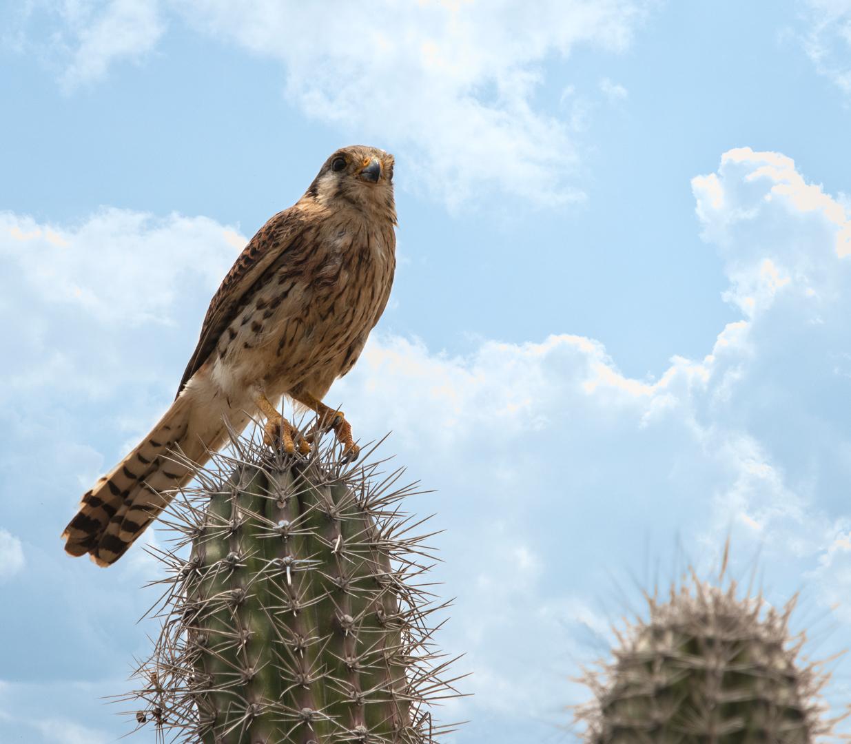 Amerikaanse Cactusvalk!