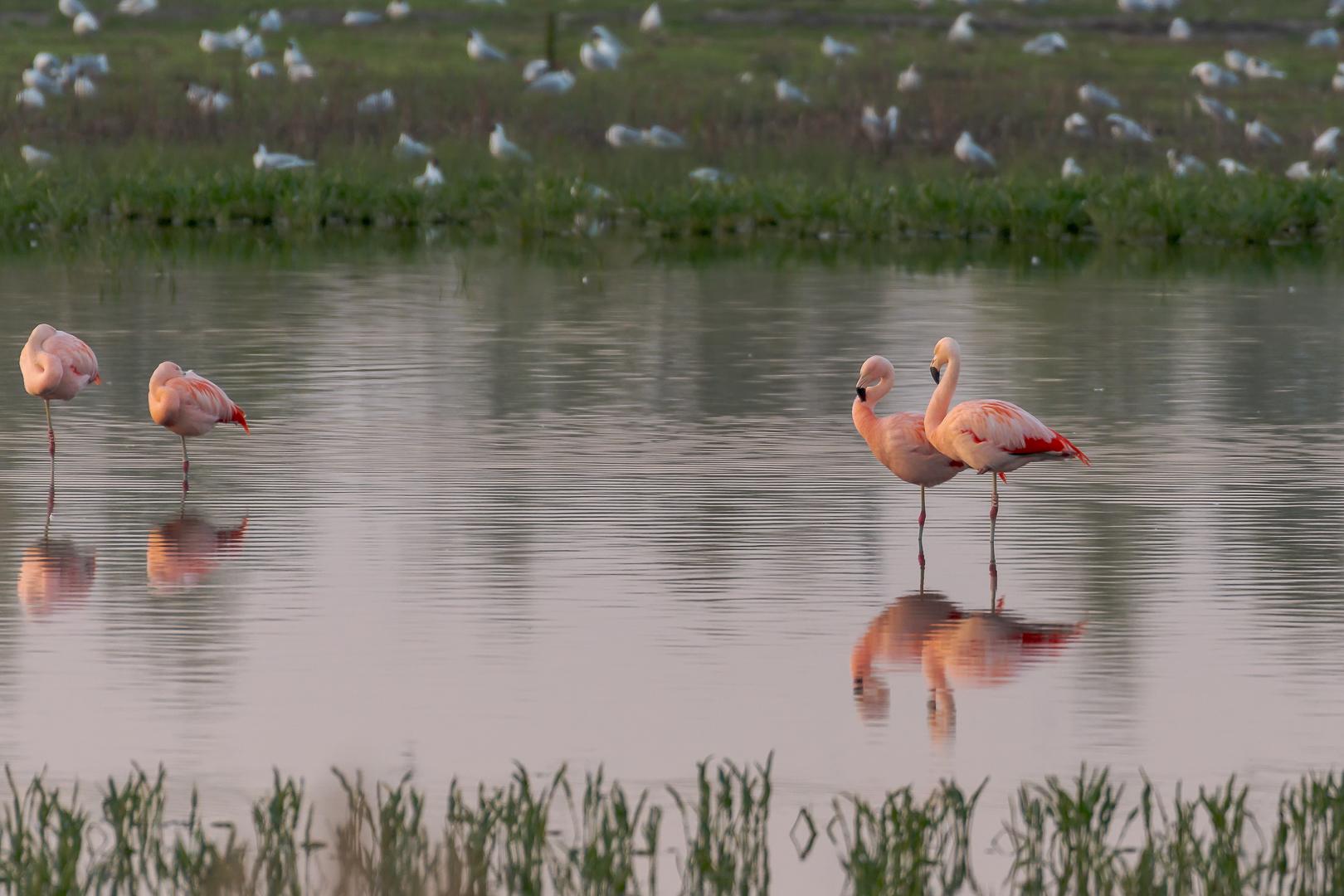 Flamingo-_INA0880-bewerkt