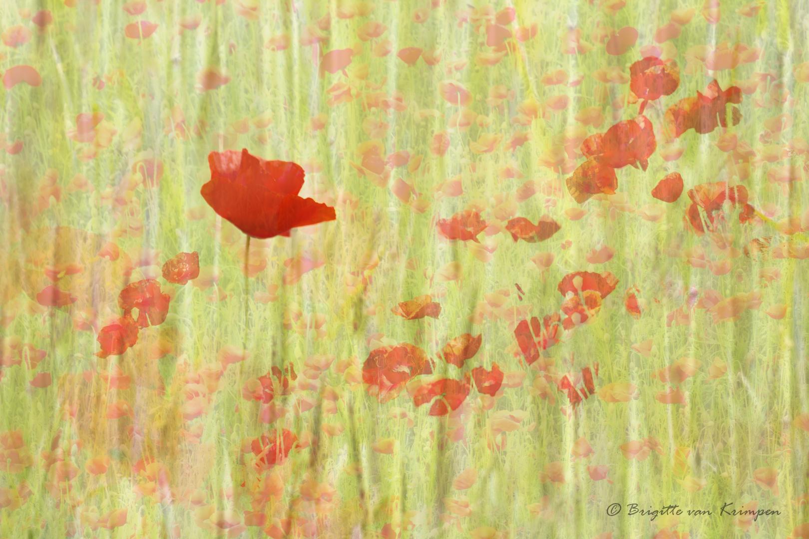 Poppy Art4 DDN