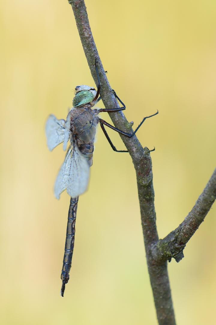 Zuidelijke Keizerlibel