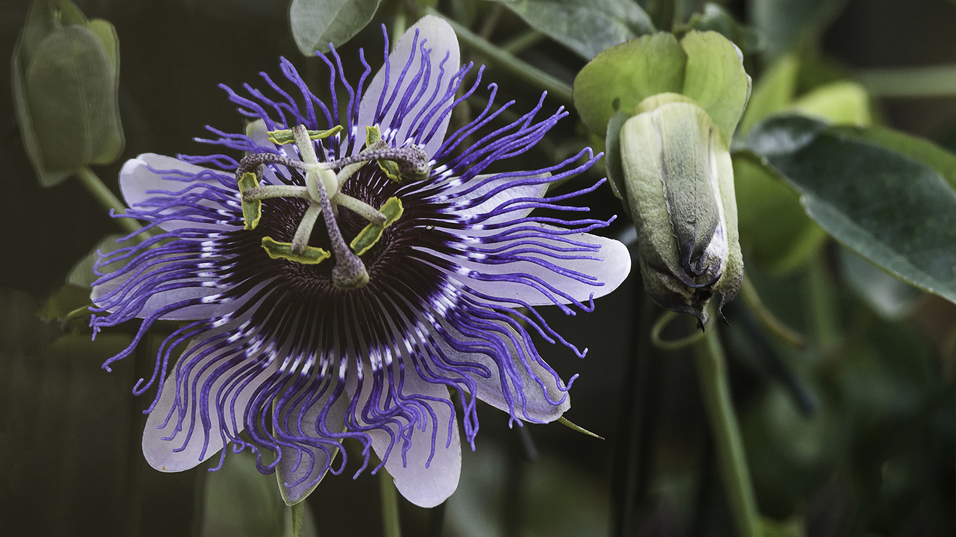 flora bloem passiebloem-005-ddn