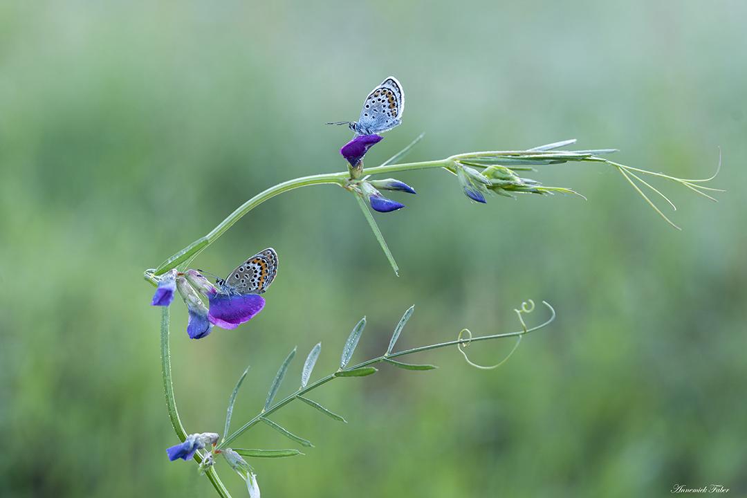 heideblauwtjes man en vrouw op kleine paarse bloemen DDN
