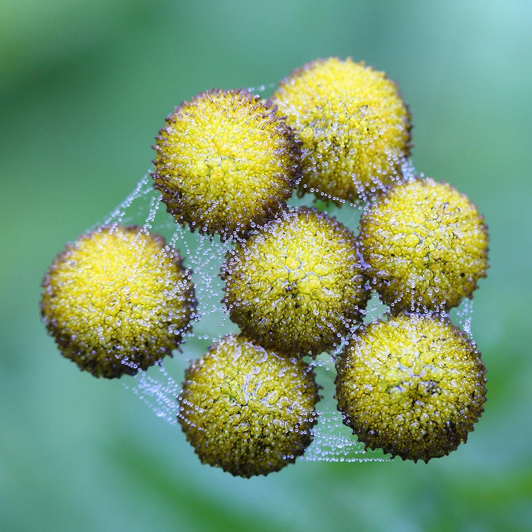 boerenwormkruit