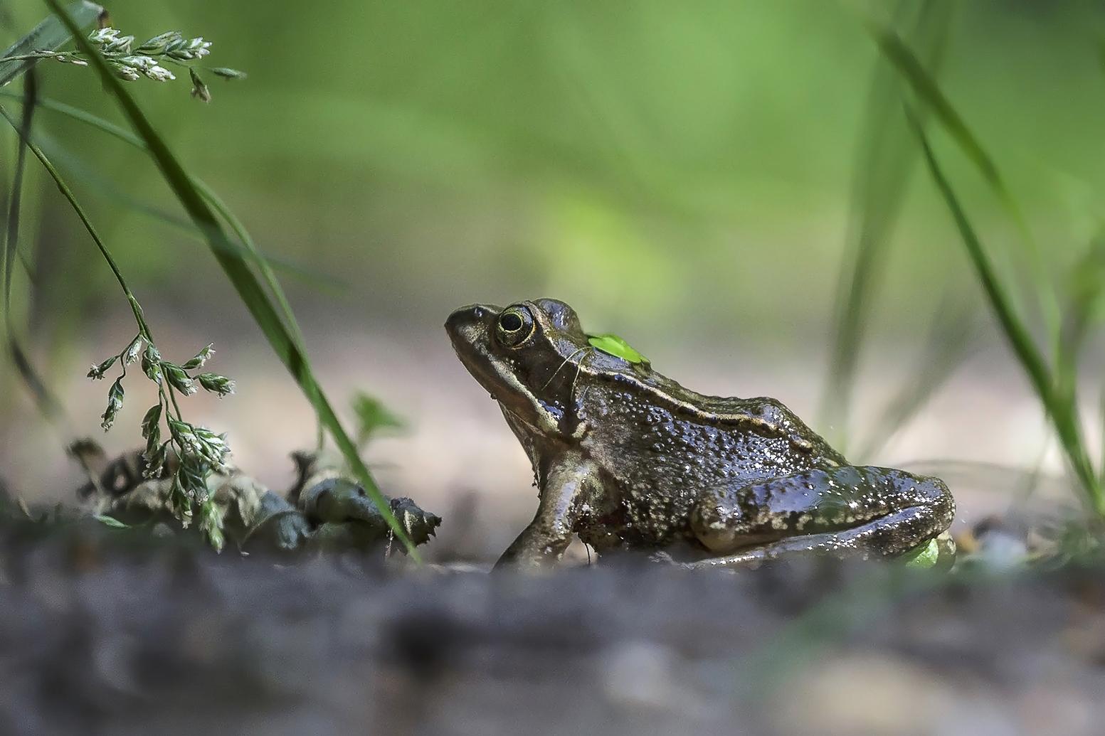 7298 kikker in habitat 2019-07-29 Bw-v-R 1620