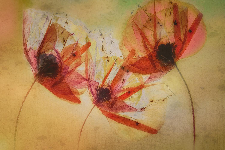 Poppy zaadjes