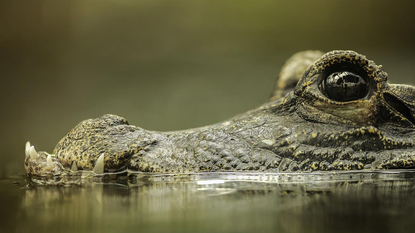 Alligator goed