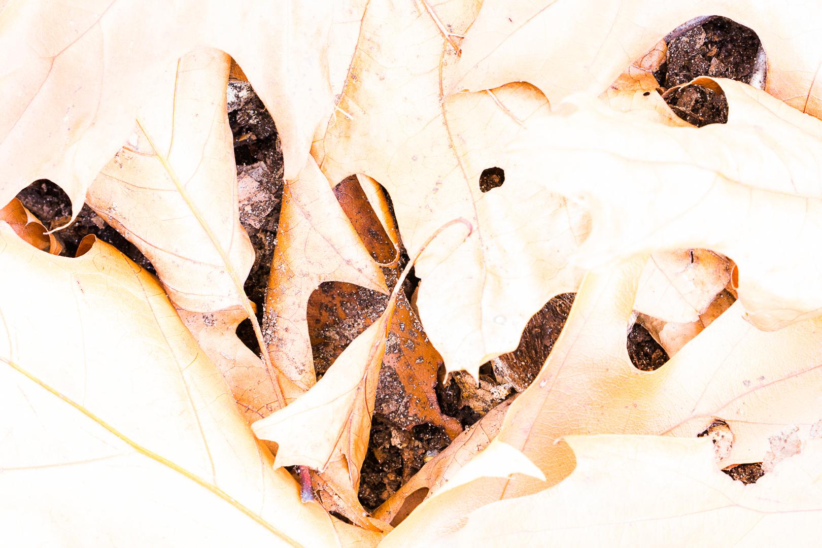 Eikenbladeren Loes Belovics