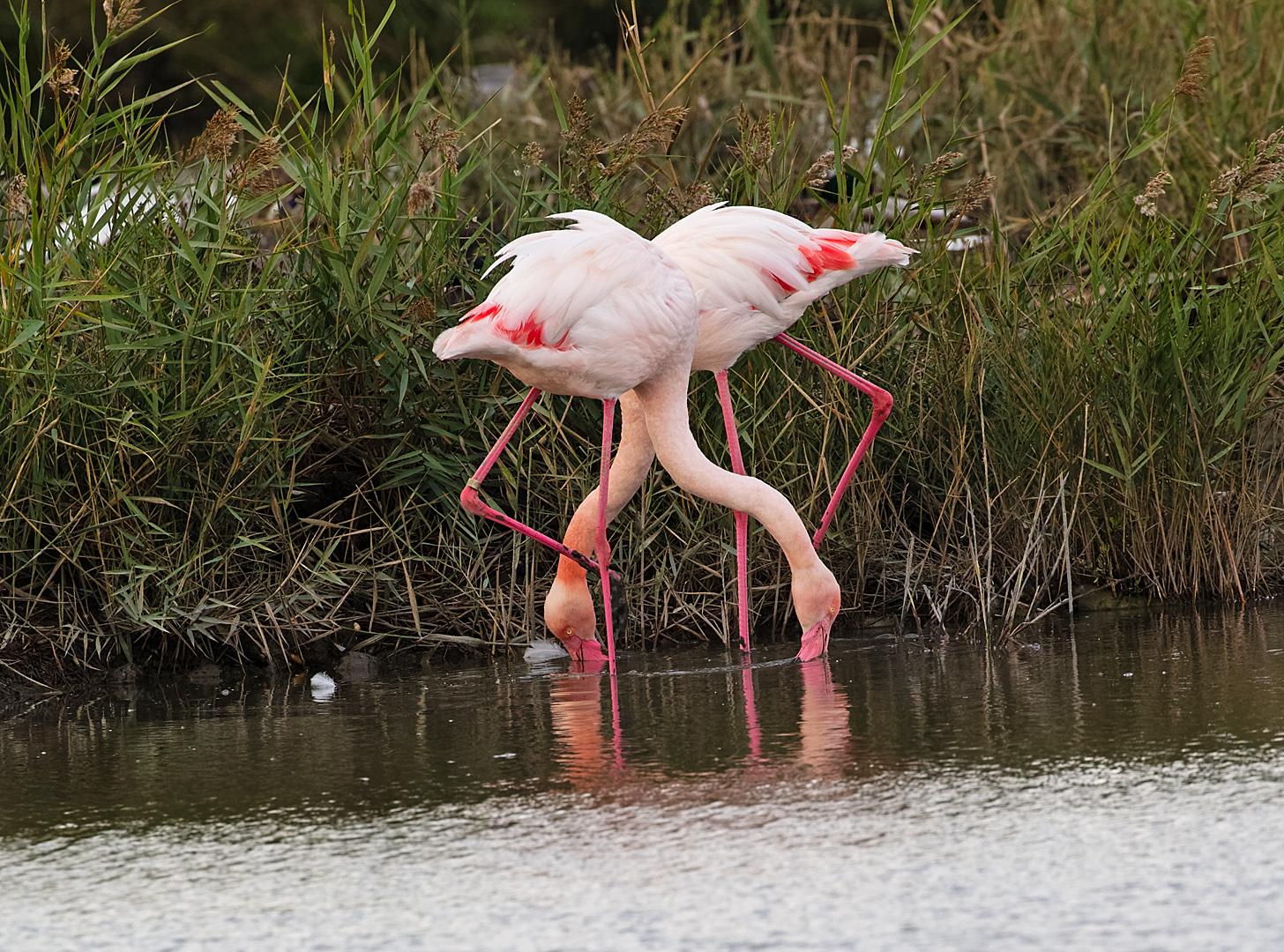 Flamingo DDN CP4B9878_DxO