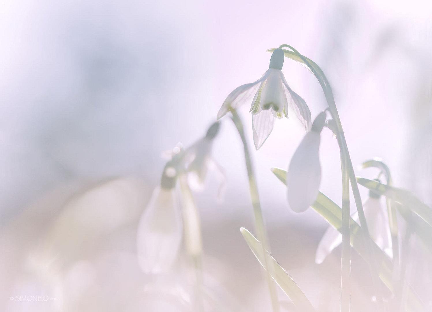 sneeuwklokjes-ilpendam