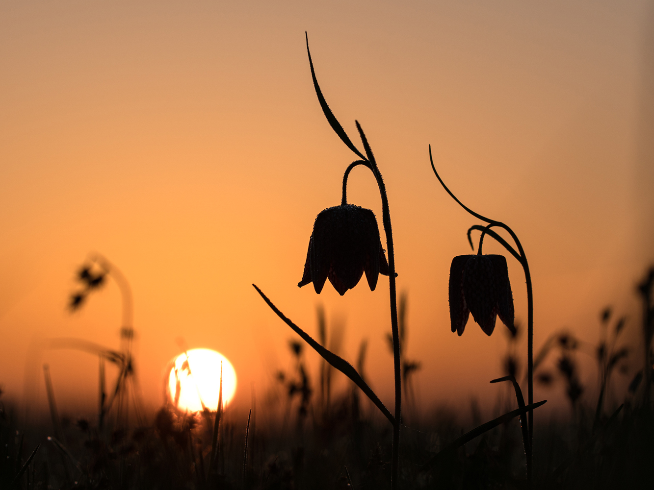Kievitsbloemen bij zonsopkomstddn