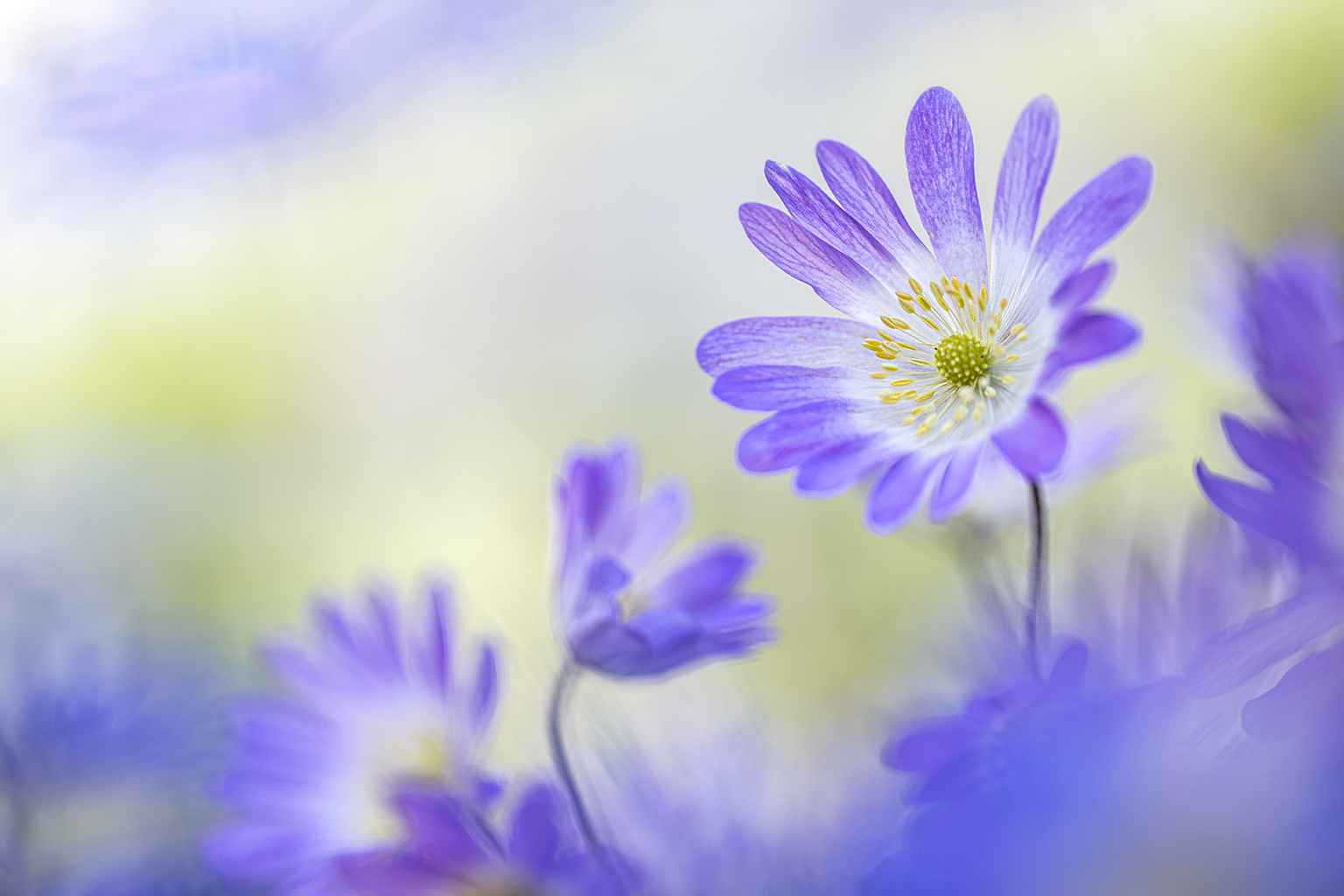 ddn anemone blanda 2