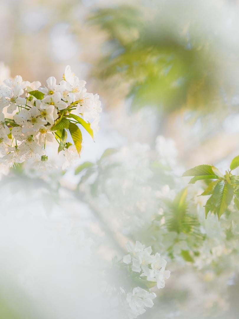 Voorjaarsbloesem