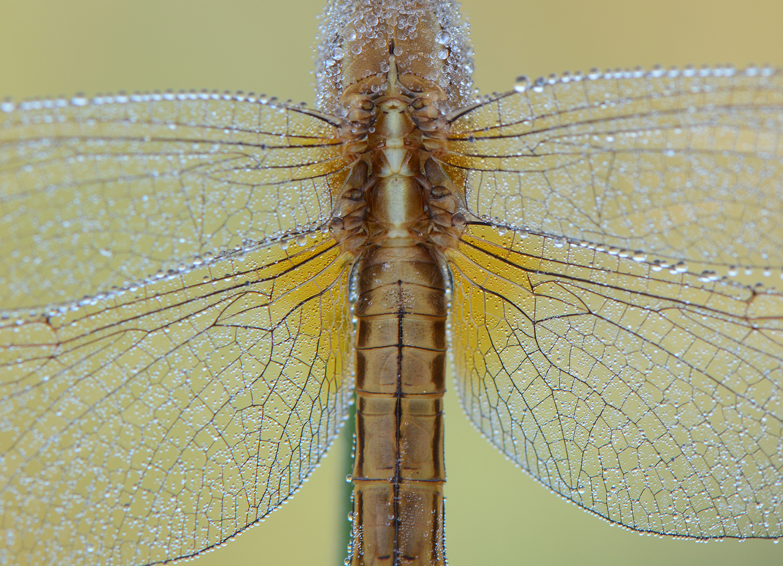 Vuurlibel-Crocothemis erythraea-Boukoul6