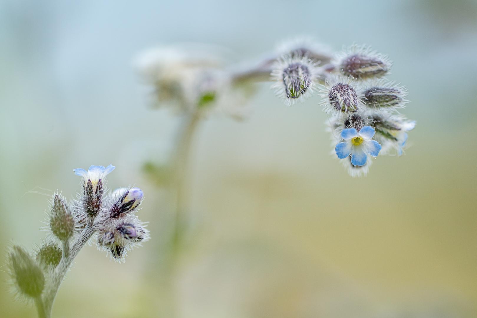 Ruw vergeet‑mij‑nietje,  Myosotis ramosissima