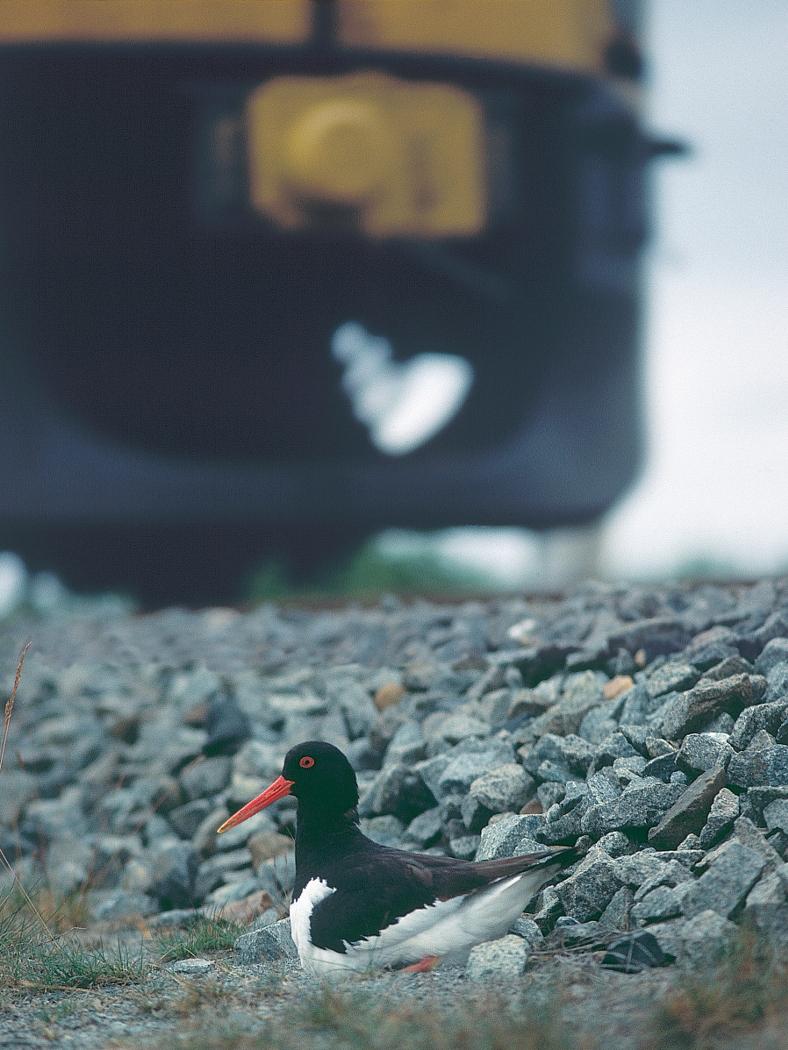 Scholekster op nest naast spoorbaan