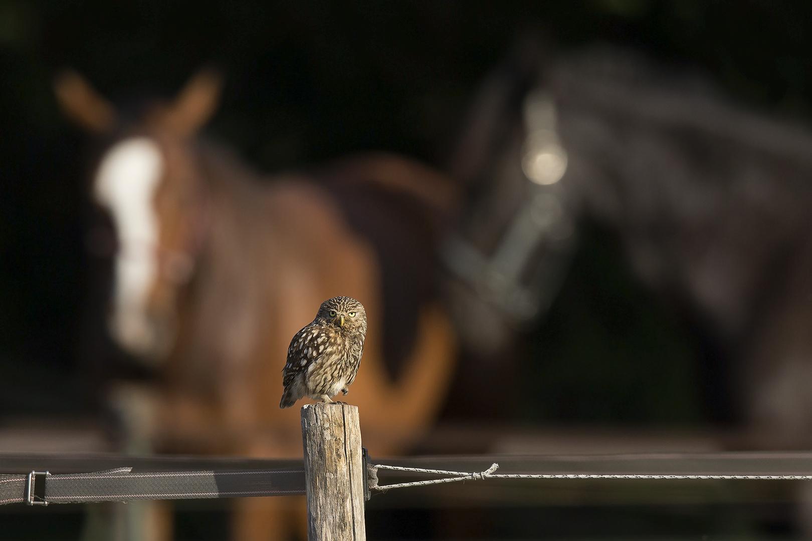 steenuil_paarden