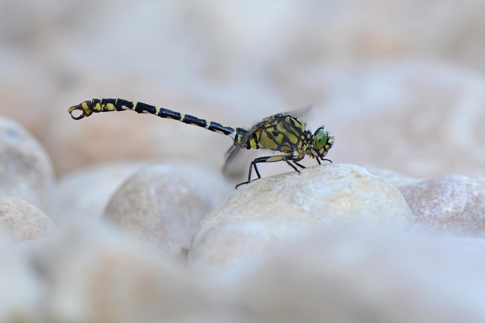 Kleine Tanglibel-Onychogomphus forcipatus-Jura-2-ddn
