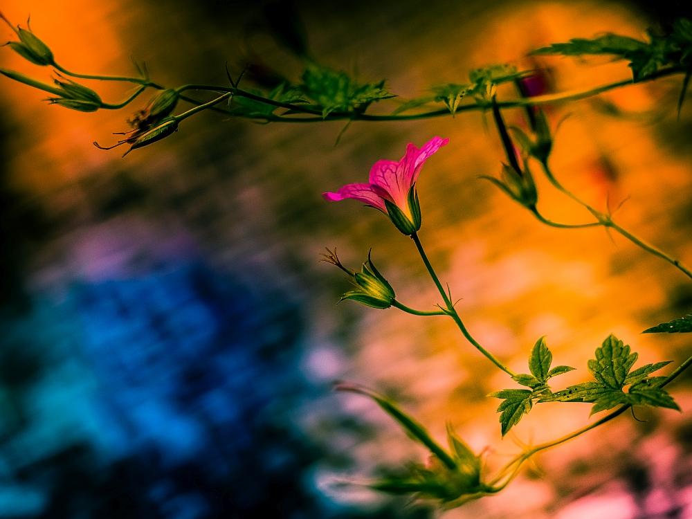 Wilde geraniums