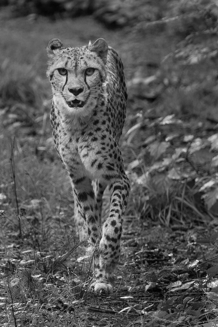 cheetah_nvb